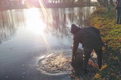Wpuszczanie ryb do stawu