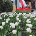 foto: Sokołów miastem tulipanów - IMG 4981 150x150