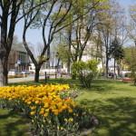 foto: Sokołów miastem tulipanów - MG 4956 150x150