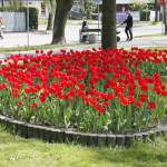 foto: Sokołów miastem tulipanów - MG 4958 150x150