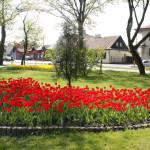 foto: Sokołów miastem tulipanów - MG 4961 150x150
