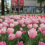 foto: Sokołów miastem tulipanów - IMG 4980 150x150