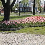 foto: Sokołów miastem tulipanów - MG 4954 150x150